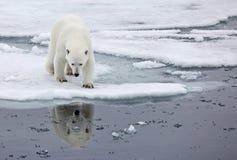 Polar bear. In natural environment royalty free stock photos
