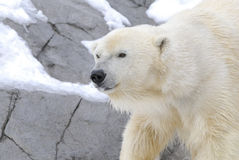 Polar Bear. Against a winter landscape.  s are one of the largest land based carnivores Stock Image