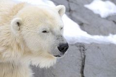 Polar Bear. Against a winter landscape.  s are one of the largest land carnivores Stock Images