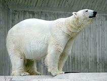 Polar Bear 4. Portrait of Nice Polar Bear Stock Images