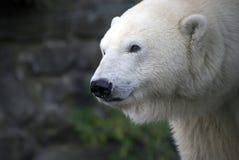 Polar Bear. Portrait stock images