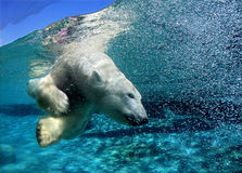 Polar bear. Diving and playing around Stock Photography