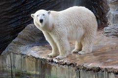Polar bear. Portrait of white polar bear (Thalarctos maritimus stock images