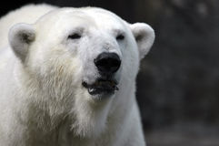 Polar bear. In the sun in front of a grey background Stock Photos