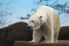 Polar Bear. Beautiful white polar bear on a rocky ledge Royalty Free Stock Image