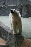 Polar bear. A large white polar bear is growling Royalty Free Stock Photo
