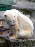 Polar Bear 5. Polar bear in zoo habitat Royalty Free Stock Photos