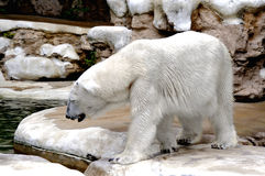 Polar Bear. A polar bear thinking about going for a swim on a hot day Royalty Free Stock Photos