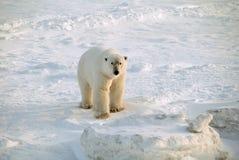 Polar bear. Standing on the frozen tundra Stock Photo