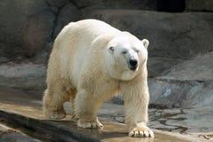 Polar bear Stock Images