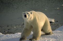 Polar bear. Large male polar bear on the shore of Hudson's Bay in the Canadian Arctic Royalty Free Stock Photography