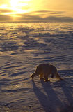 Polar bear. On the Arctic tundra, back lit up by the setting sun royalty free stock photography