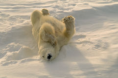 Polar bear. Scratching his back by rolling in the snow. Canandian Arctic Royalty Free Stock Images