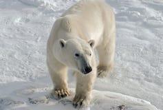 Polar bear. Telephoto shot of a young polar bear taken in the Canadian Arctic stock images