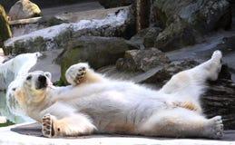 Polar Bear. Relaxing in Bronx Zoo Stock Photo