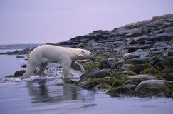 Polar bear. Coming ashore in spring. Canadian Arctic Royalty Free Stock Images
