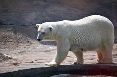 Polar bear. In a zoo. Ursus maritimus royalty free stock photos
