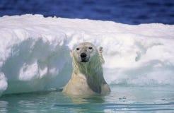 Polar bear. In ice floe. Canadian Arctic Stock Image