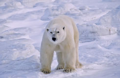 Polar bear. Standing on broken ice in the Canadian Arctic Stock Photos
