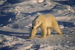 Polar bear Stock Photography