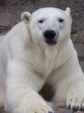 Polar Bear. Close up of a Beautiful large resting Polar Bear Stock Photo