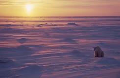 Polar bear. Sitting on the Arctic tundra at sunset stock photography