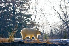 Polar bear. Pacing in his close-to-natural habitat in Detroit Zoo. This bear is blind and would not survive in the wild royalty free stock images