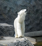 Polar bear. Animal,  arctic,zoo Stock Photo