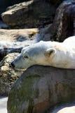 Polar Bear. Sleeping Time stock image