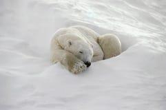 Polar bear. Sleeping in day bed. Canadian Arctic stock photo