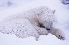 Polar bear. Young polar bear asleep in snow bed in Canadian Arctic royalty free stock image