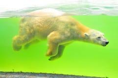 Polar bear. In water in aquarium Royalty Free Stock Photography