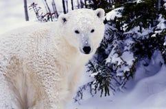 Polar bear. Young polar bear after an Arctic snowfall stock photography