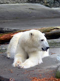 Polar Bear 6. Polar bear resting in zoo habitat Royalty Free Stock Photography