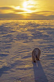 Polar bear. Rimmed by the setting sun. Photographed in the Canadian Arctic Royalty Free Stock Images