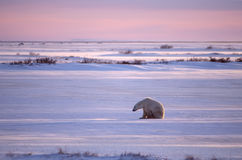 Polar bear. On Canadian Arctic tundra in winter Royalty Free Stock Images