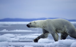 Polar bear. Running on spring ice floes Stock Photo