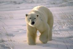 Polar bear. On the Canadian Arctic tundra royalty free stock images