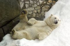Polar bear. Resting on the snowdrift Stock Photo