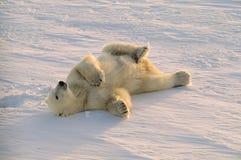 Polar bear. Male polar bear rolling in snow. Canadian Arctic stock images