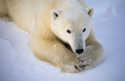 Polar bear. Female polar bear,lying in the snow. Canadian Arctic Stock Photography