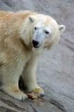 Polar bear. In captivity royalty free stock images