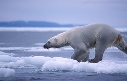 Polar bear. Large male polar bear runnin on Arctic ice floe Royalty Free Stock Photography