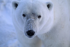 Polar bear. Head shot. Photographed in Canadian Arctic Stock Images