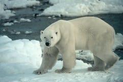 Polar bear. Large male polar bear on shore of Hodson's Bay. Canadian Arctic Royalty Free Stock Images