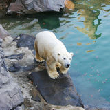Polar Bear. Walking on rocks stock photography