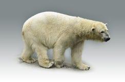 Polar bear. The polar bear isolated on grey royalty free stock photos