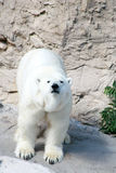 Polar bear. Looking straight at the camera royalty free stock images