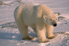 Polar bear. Nice white polar bear in Arctic sunlight Stock Images
