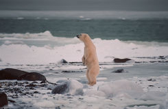 Polar bear. Standing on shore of Hudson's Bay,Canada Royalty Free Stock Photo